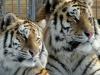 Реклама мяса тигров и человечины в Москве: торговцев нашли