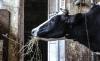 В России собираются ограничить поголовье скота в личных хозяйствах