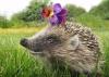Ёжик в саду – друг и помощник садовода