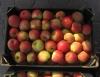 Сто тонн польских яблок похоронены в Смоленской области только за один день