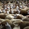 Численность скота: чипирование сельскохозяйственных животных